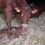 Kate and her newborn calf