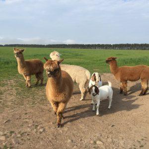 Alpacas and Boer Goats