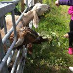 Goats enjoying some tasty willowherb during a farm tour
