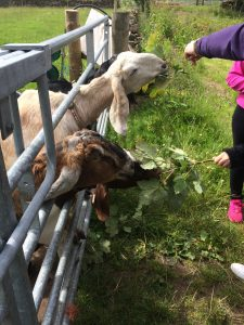 Goats enjoying some tasty willowherb during a farm tour
