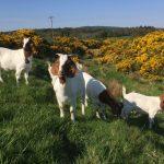 Our Boer goats enjoying grazing the den