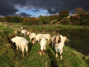 Our goats enjoying the sunshine by the duck pond in the den