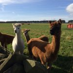 Our alpacas being inquisitive
