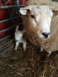 Newborn lamb with its proud mum