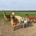 Alpacas and Boer Goats