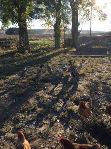 Runner ducks and hens
