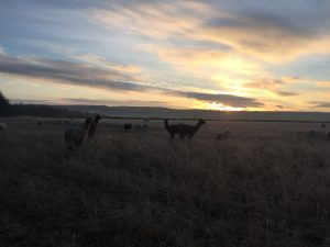 Frosty morning with the rising sun, alpacas and sheep