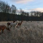 A frosty morning with the alpacas looking after the sheep