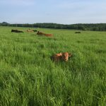 A calf awakens in the long grass