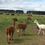 Alpacas after shearing with the cows grazing