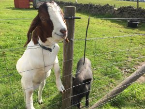 McAndrew our Boer goat with Lucy the micropig