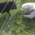 Lucy the micropig meets Leo the retriever on a farm tour