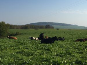 Cows basking in the sun in the field behind our holiday cottage