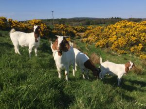 Our Boer goats enjoying grazing the den