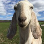 Leandra our Anglo Nubian goat