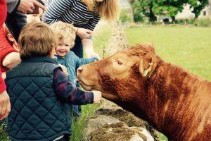 Tour visitors petting a cow