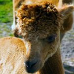 Jonty the alpaca at Newton Farm Holidays, Forfar
