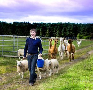Scott leading the lambs and alpacas
