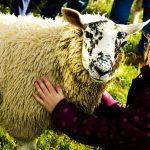Lamb cuddle time on farm tour at Newton Farm