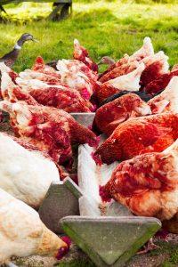 Hens feeding at Newton Farm , Forfar