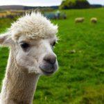 Mackie the alpaca at Newton Farm Holidays, Forfar