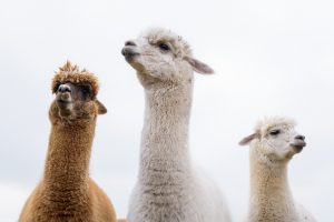 3 of our alpacas at Newton Farm, Forfar