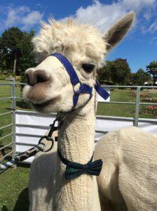 Mackie the alpaca wearing his bow tie