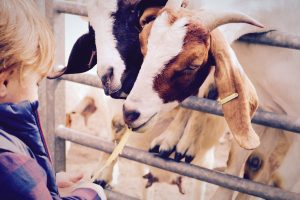 Tour visitor feeds the Boer Goats