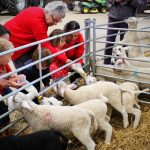 Image of lambs at bottle feeding time