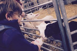 A small boy feeds the lambs