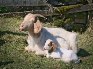 Boer Nanny basks enjoys the son with her kid Claire